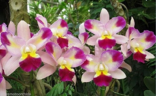 Lc. Tropical Song x sib. Beautiful Tri-Color! Fragrant! Excellent Bloomer- orchid plant