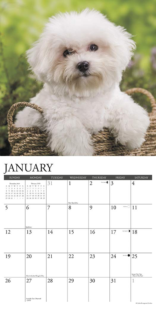 Just-Bichons-Frises-2020-Wall-Calendar-Dog-Breed-Calendar