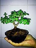 Miniature Bonsai - Portulacaria Afra
