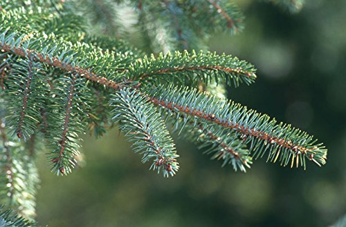 (Picea sitchensis SITKA SPRUCE Seeds!)