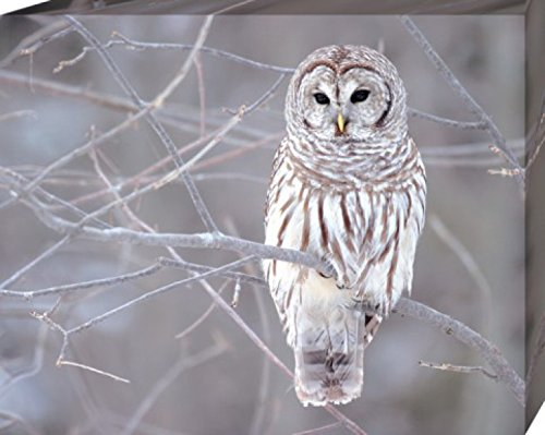 Owls Stretched Canvas Print - Barred Owl Sitting On A Branch (20 x 16 inches)