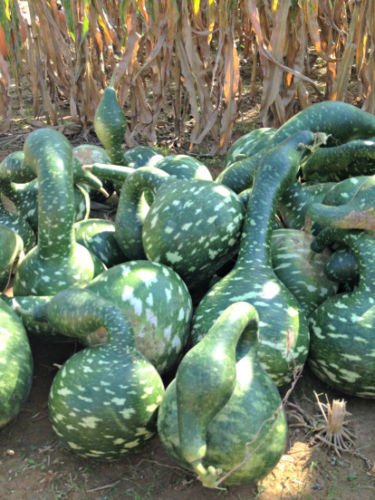 25pcs Gourd Plant Seeds Selections Fresh Plant Seeds (Speckled (Swan Gourd)