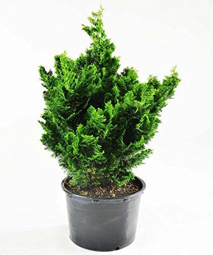 Hinoki Cypress, 1 GAL