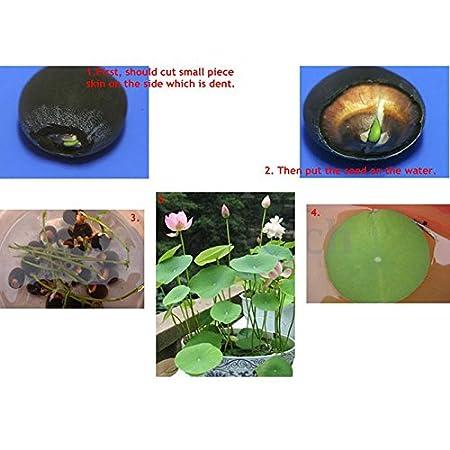 Kicode Flores acuáticas Semillas de plantas Estanque decorado flores Un paquete de 20 Envase mixto Tanque de: Amazon.es: Hogar