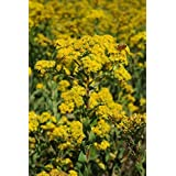 Common Goldenrod - 3 Plants by Garden Delights