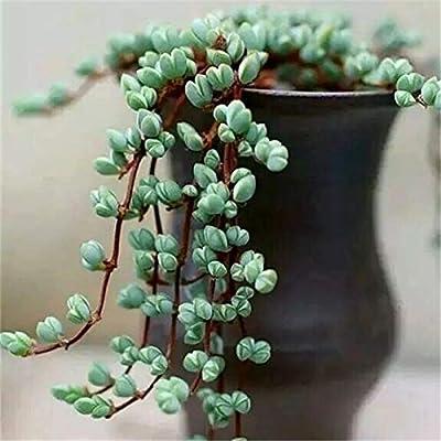 Succulent Live Plant - Echinus maximiliani : Garden & Outdoor