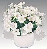 "Pearl White Carpathian Bell Flower - Campanula - Live Plant - 4"" Pot"