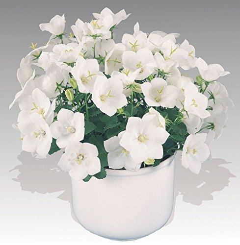 Campanula Plant (Pearl White Carpathian Bell Flower - Campanula - Live Plant - 4