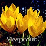 Colchicum Sampler Seeds Colchicums FallBlooming Seeds Three Ground Cover Plant 100 Seeds MIX #32694551200ST