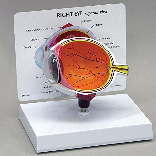 North Carolina Optic - Human Eye Model