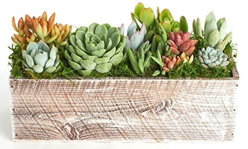 Shop Succulents Succulent Centerpiece-Table Wedding, Events, Home Decor-Live Plants in Planter Indoor/Outdoor Wood Box, White, -