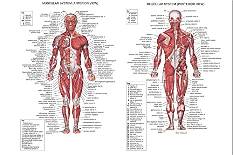 Human Body Muscle Anatomy Poster Detailed With Labels 13x19 Poster