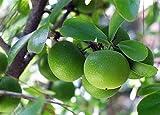 10 Seeds Dovyalis caffra Kei Apple Fruit Tree