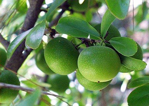 Seedusa LLC. 10 Seeds Dovyalis caffra Kei Apple Fruit Tree price tips cheap