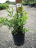 Malpighia glabra, Barbados Cherry - 3 Gallon - 4 Pack Live Plant