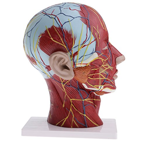 [해외]DYNWAVE 1:1 인간의 머리 근육 목과 피상적 인 신경 혈관 혈관 모델, 실험실 데모 모델 인간의 해부학 모델 / DYNWAVE 1:1 Human Head Musculature Model with Neck and Superficial Neurovascular Vessels, Lab Demonstration Models Human Anatom...