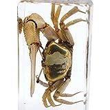 Cherish XT Real Marine Animal Crab Specimen