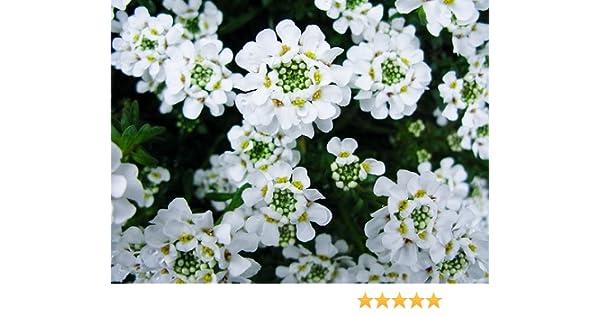 Perennial Flower Seeds Violet Sweet Fragrant Alyssum 60