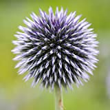 Home Comforts LAMINATED POSTER Echinops Plant Thistle Globe Thistle Flora Poster Print 24x16 Adhesive Decal