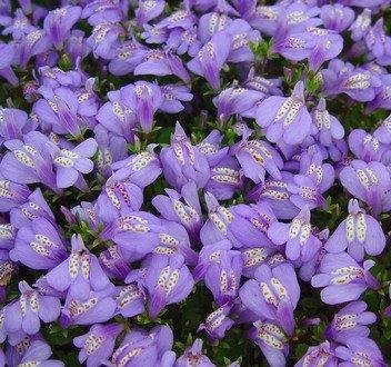 Violettes Lippenmäulchen / Mazus Reptans violett im 9x9 cm Topf WFW wasserflora