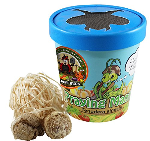 Praying Mantis Egg Case with Hatching Habitat Cup - 2 Praying Mantids Egg Cases & 1,500 Live Ladybugs