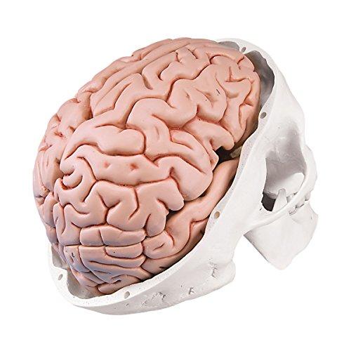 3B Scientific Classic Skull with Brain by 3B Scientific (Image #3)