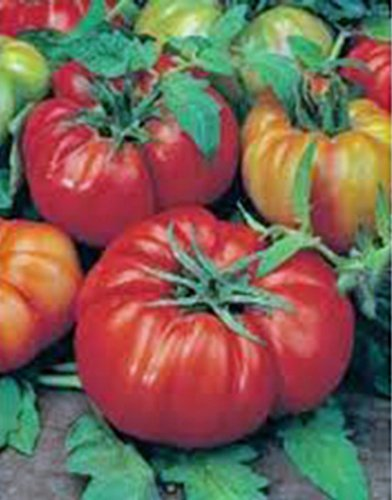 TOMATO, BEEFSTEAK, HEIRLOOM, ORGANIC 25+ SEEDS, GREAT SLICED TOMATO, DELICIOUS