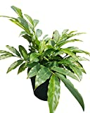 PlantVine Alpinia zerumbet, Shell Ginger - Green - 14 Inch Pot (7 Gallon), Live Plant