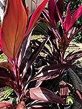 "CLORA Plant 10 +++"" Tall Tropical Cordyline Ti Hawaiian Red Sister houseplant Live Plant - EB25"