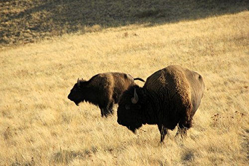 Gifts Delight Laminated 36x24 Poster American Bison on The National Bison Range, Montana