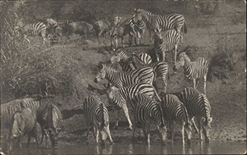 Zebras at Water Hole Other Animals Original Vintage Postcard from CardCow Vintage Postcards