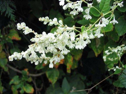 Silver Lace Vine - Polygonum aubertii - 2.5