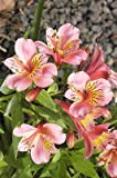 ~Gorgeous Alstroemeria~1 handsize clump of healthy tubers