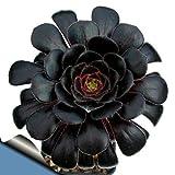 """Black Rose Tree Plant - Aeonium arboreum - RARE - Easy to grow! - 3"""" Pot NEW"""