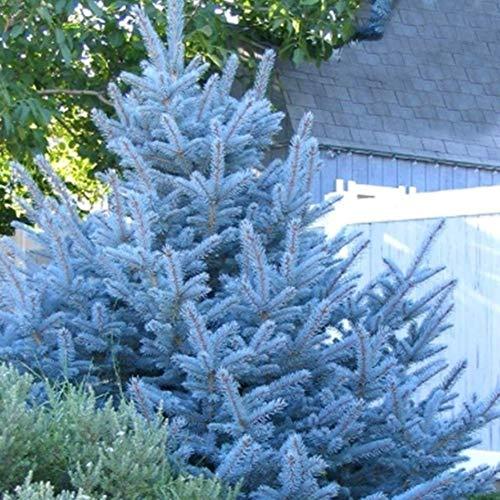 - Seeds for Planting,cONstRschh Spruce Seeds,50Pcs Blue Spruce Seeds Garden Yard Courtyard Ornamental Plant Tree Bonsai Decor - Spruce Seeds