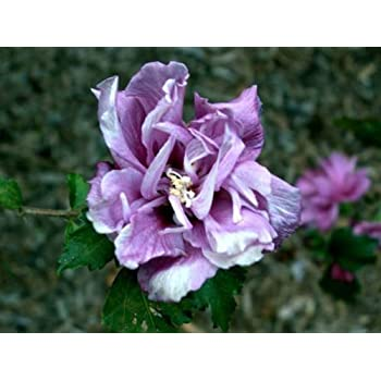 Amazoncom 3 Live Plants Double Purple Rose Of Sharon Althea