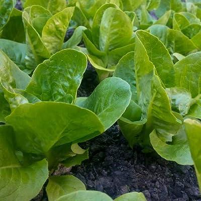 David's Garden Seeds Lettuce Romaine Winter Density SL5467 (Multi) 500 Non-GMO, Heirloom Seeds : Garden & Outdoor
