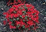 Azalea Japonica Hino Crimson - 3 Plants in a 9cm Pots