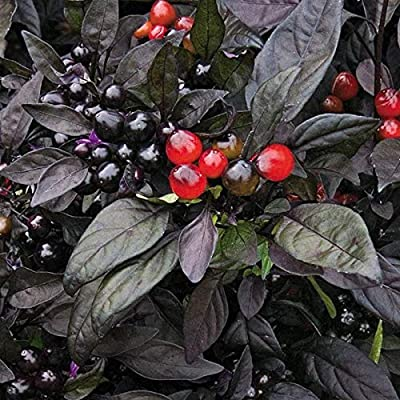 Organic Black Pearl Pepper Seeds (20 Seed Pack) : Garden & Outdoor