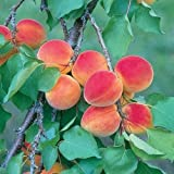 1 DWARF APRICOT TREE, 10-12 INCH SEEDLINGS, MEDIUM SIZE FRUIT,TREES, LIVE PLANTS