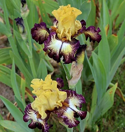 Bearded Iris Bulbs - 8 Bulbs German Iris Flower Perennial Garden Decor