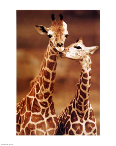 Giraffe, Loving Kissing. Photo Print Poster (16 x 20)