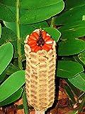 Cardboard Cycad palm, zamia furfuracea sago plant tree mexican seed 100 seeds