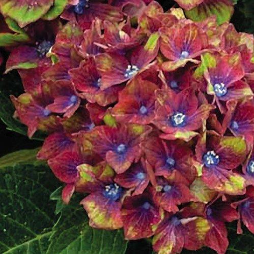 Saavyseeds Pistachio Hydrangea Seeds - 55 Count