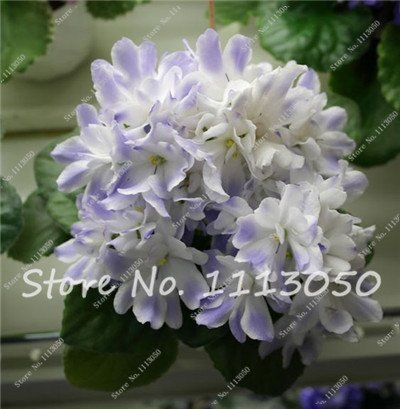 ChinaMarket 100 Pcs African Violet Flower Seeds White Rare Garden Bonsai Perennial Herb Flower ()