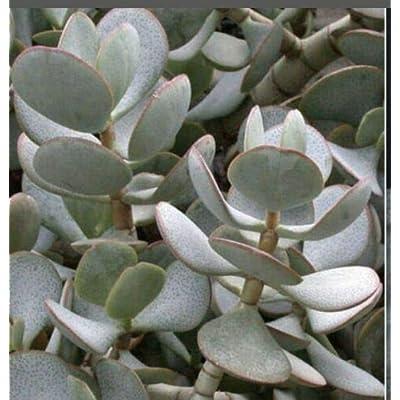 AchmadAnam - Live - 2 Leaf Cuttings Crassula Arborecens Silver Dollar Money Jade Succulent : Garden & Outdoor
