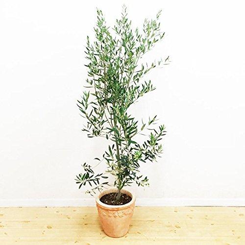オリーブの木 テラコッタ鉢植え
