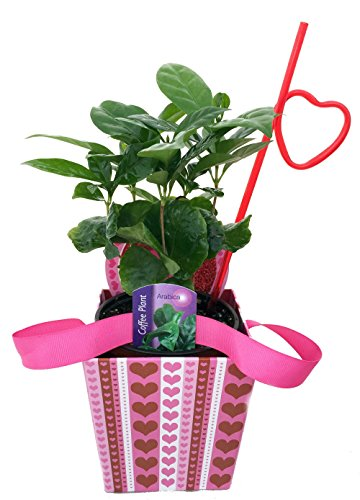 Live Coffee Plant in Valentine's Gift Basket plus Ribbon Handles