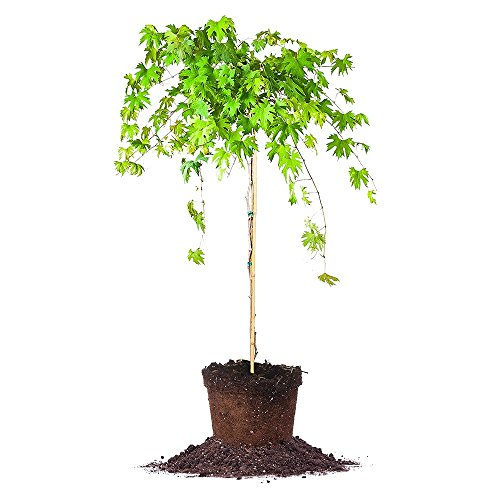 SOUTHERN HOME MUSCADINE GRAPE VINE - Size: 3-4 ft, live p...