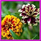 Persian Carpet Zinnia! 25 Seeds SMALL BOLD BLOOMS OF MANY COLORS! Combined S/H!